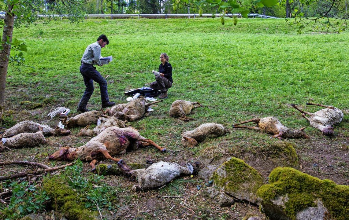Im April dieses Jahres wütete ein Wolf bei Bad Wildbad in einer Schafherde.    | Foto: dpa