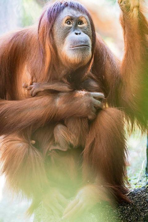 Padma mit ihrer Mutter Maia  | Foto: Zoo Basel (Torben Weber)