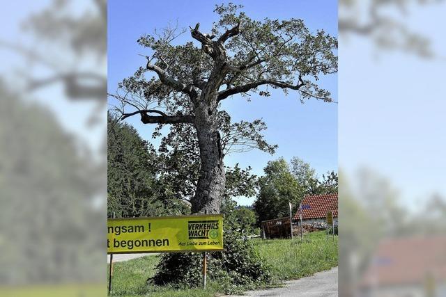 Naturdenkmal in Rippolingen wird ersetzt