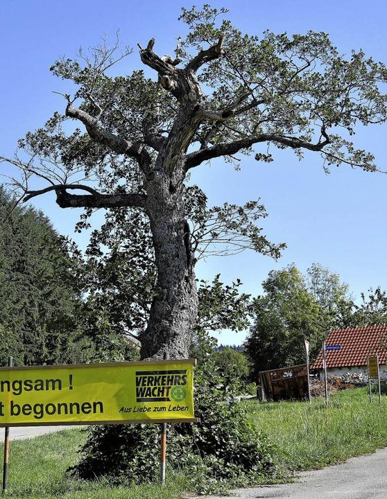 Die Schwarzerle am Ortseingang von Rip...srat beschloss, eine neue zu pflanzen.  | Foto: Jörn Kerckhoff
