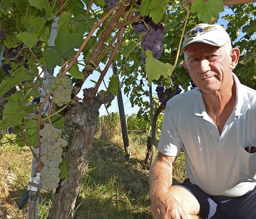 Dieter Rösch neben einer seiner umvere...b eine grüne Johanniter-Traube hängt.     Foto: Lauber