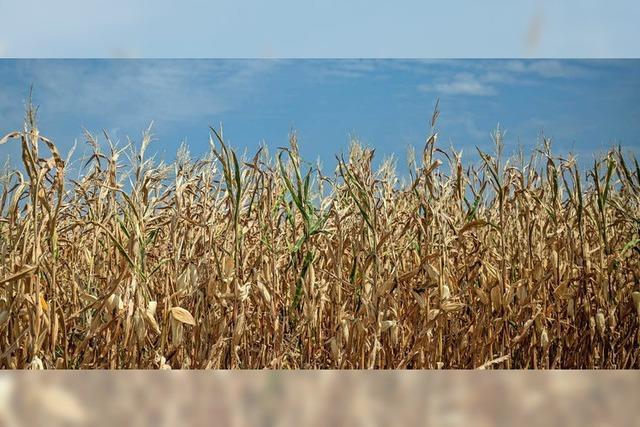 Um den Mais steht es nicht gut