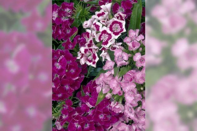 Nelken blühen allerorten