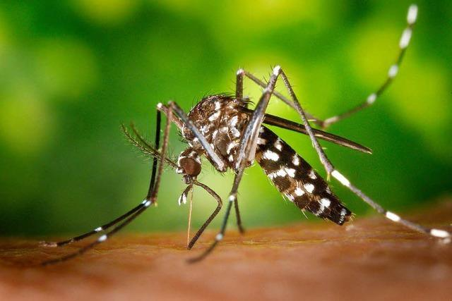 In Haslach und Rieselfeld wurden neue Populationen der Tigermücke entdeckt