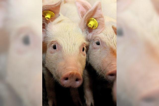 Schweinepest in Belgien
