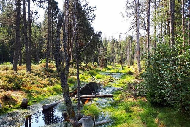 Im Hotzenwald werden Moore renaturiert, die fast ausgetrocknet waren