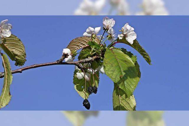 Kirschbaum in Grunern blüht ein zweites Mal