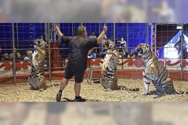 Wie ein Zirkus-Tiertrainer mit vier sibirischen Tigern arbeitet