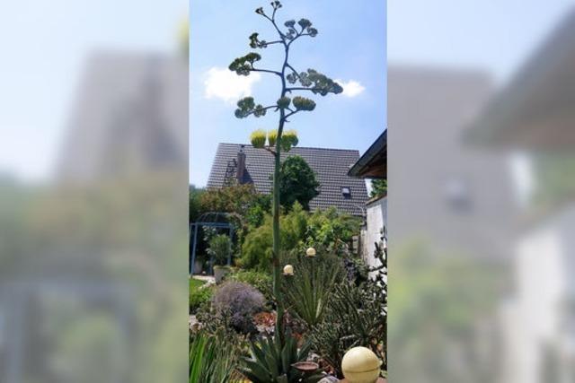 Wo selbst die Agave zu blühen beginnt