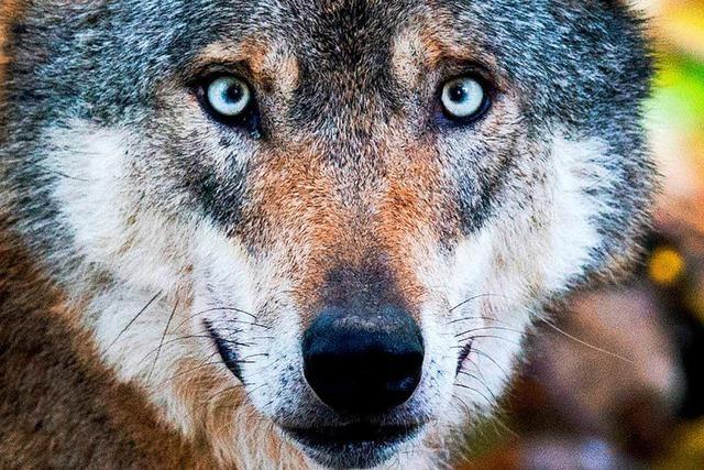 Der Wolf, der Schafe in Gernsbach riss, ist dasselbe Tier wie in Bad Wildbad