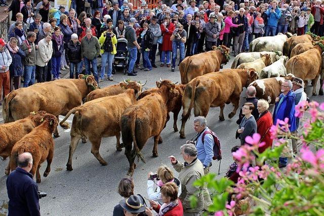 Schwarzwaldgemeinde feiert Viehabtrieb auf den Straßen des Dorfes