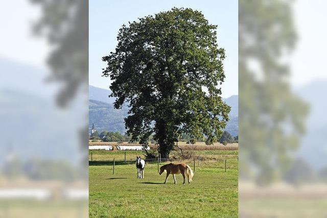 Eiche soll Naturdenkmal werden
