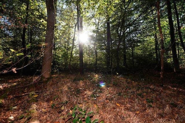 Südbadens Wälder haben unter dem trockenen Sommer gelitten