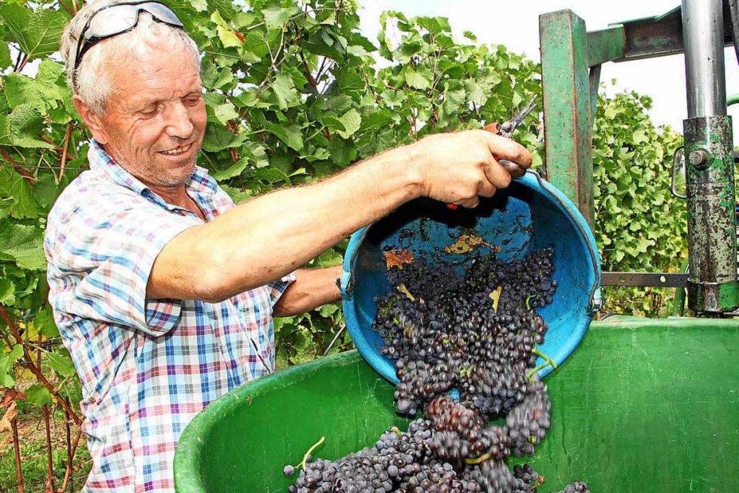 Gesunde und reife Trauben in großer Me... Kaiserstuhl und am Tuniberg geerntet.  | Foto: Herbert Trogus