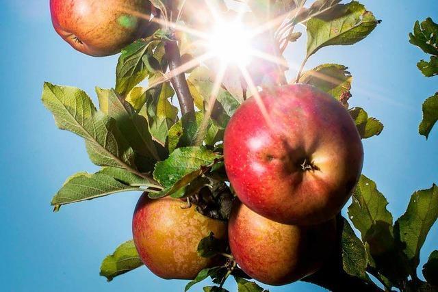 Reiche Apfelernte bringt Keltereien in Südbaden an ihre Kapazitätsgrenzen