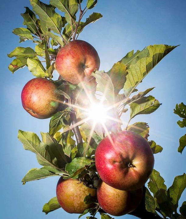 Äpfel ohne Ende – und die besten Exemplare hängen noch.     Foto: dpa
