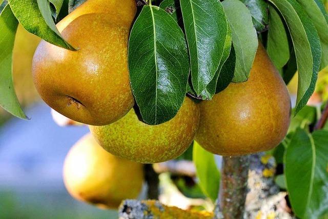 Die Bäume hängen voll – egal ob in Apfelplantagen oder auf Streuobstwiesen