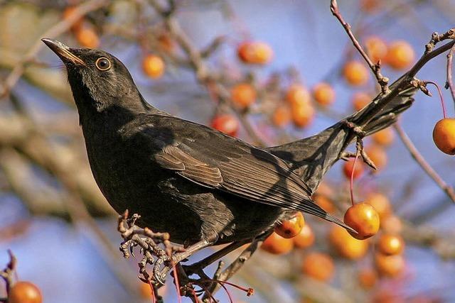Zu den Vögeln des Herbstes am Feldberg