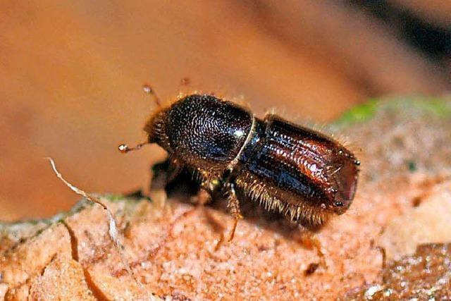 Sommer setzt dem Wald schwer zu – starke Borkenkäferschäden