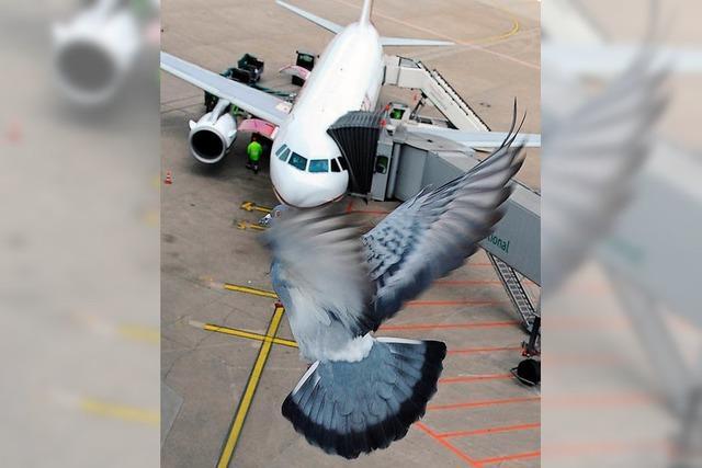 Peng, peng, peng – wie Vogelschlag-Beauftragte Flughäfen sichern