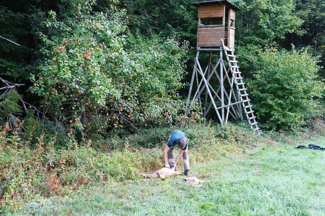 Zum Schluss steht das ordentliche Ausw... anderes Wild im Wald gelassen werden.    Foto: Gudrun Deinzer