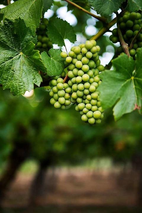 Der Rohstoff für die Weine der Weishaars.     Foto: Joss Andres