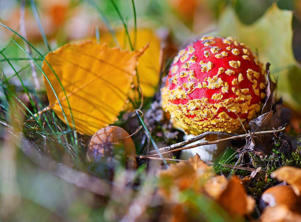 Herbstzeit ist auch Pilzzeit: Ein Fliegenpilz wächst zwischen Laubblättern.  | Foto: dpa