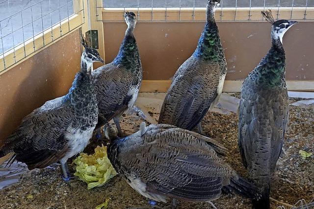 Füllige Hühner im Kontrast zu winzigen Wachteln