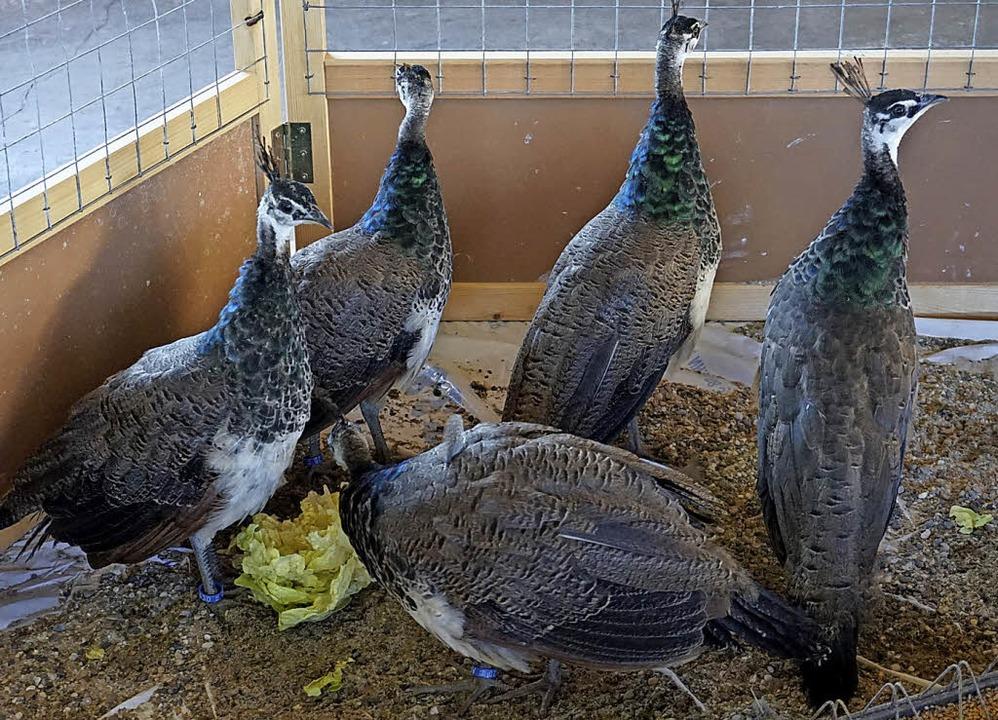 Keine Nutz-, sondern Ziervögel: fünf Pfauendamen     Foto: Steckmeister