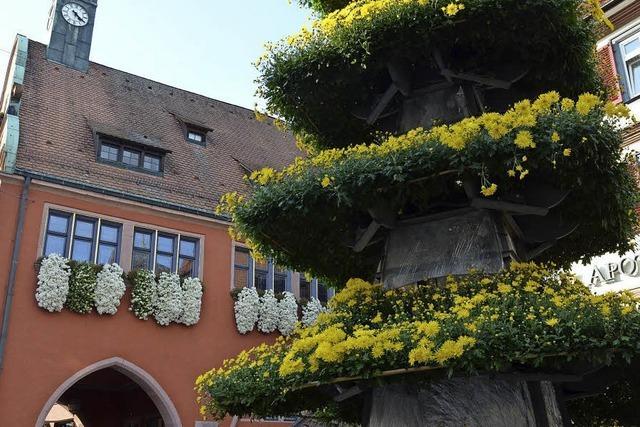 Die Chrysanthema kommt