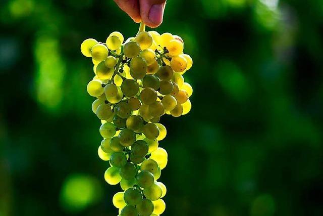 Wie züchtet man kernlose Trauben?
