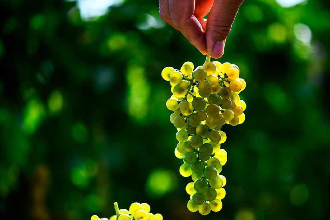Wie züchtet man kernlose Trauben?  | Foto: dpa
