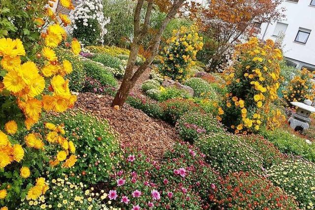 Alles, was Sie über die Chrysanthema in Lahr wissen müssen