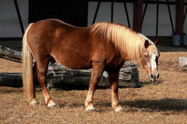 Mundenhof-Pferd mit Apfel fast totgefüttert – es konnte nicht mehr kauen