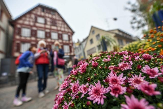 Alle Fakten zur Chrysanthema