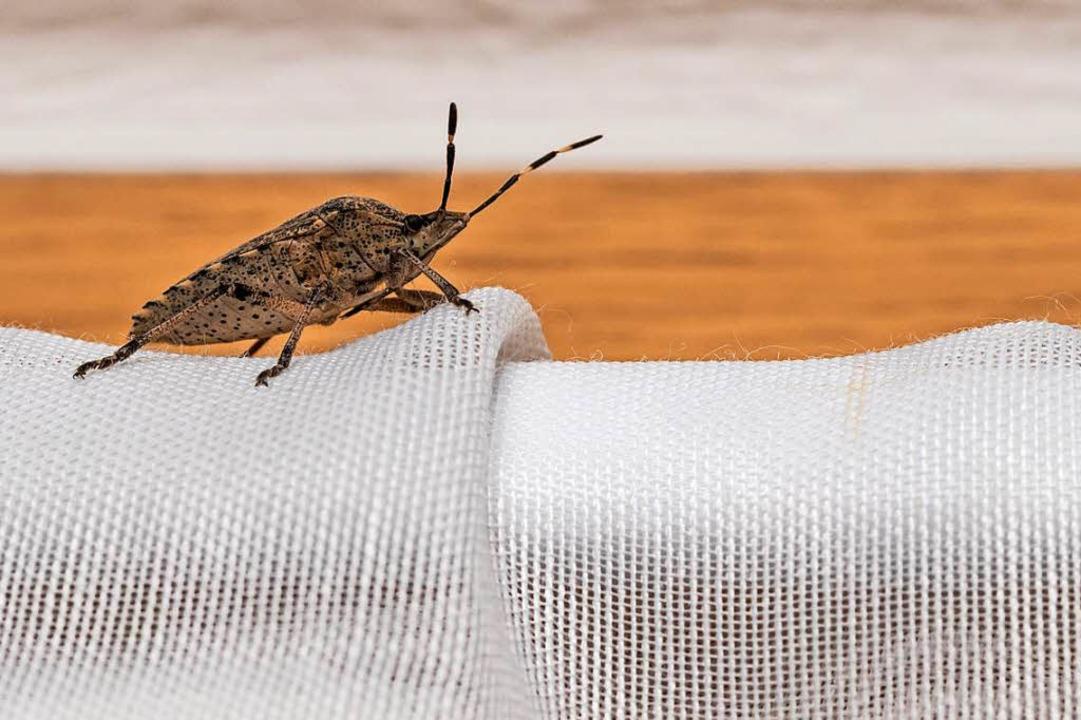 wanzen plagen nach hitze sommer auch die menschen in der ortenau offenburg badische zeitung. Black Bedroom Furniture Sets. Home Design Ideas