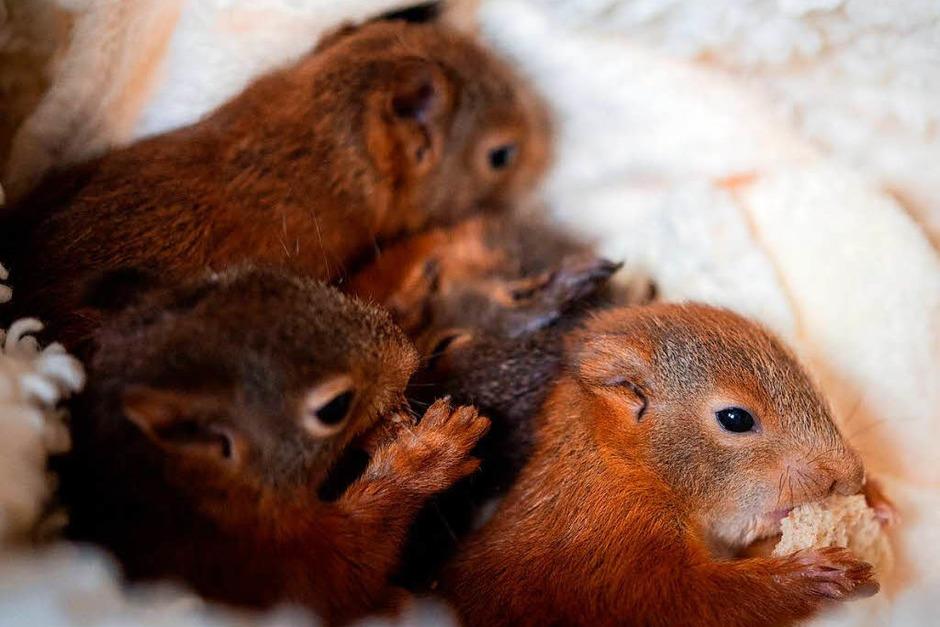Vier junge Eichhörnchen tummeln sich in einer Box. (Foto: dpa)