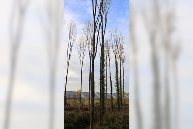 Eschen bringen Geld – und verschwinden aus dem Wald