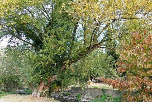 Nach dem extremen Sommer werden in Lörrach deutlich mehr Bäume gefällt