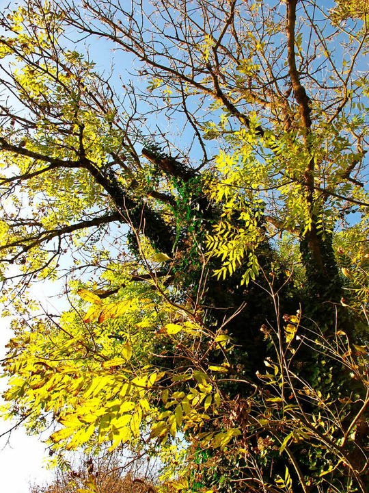 Das Eschentriebsterben setzt auch Lörracher Bäumen zu.    Foto: Jutta Schütz