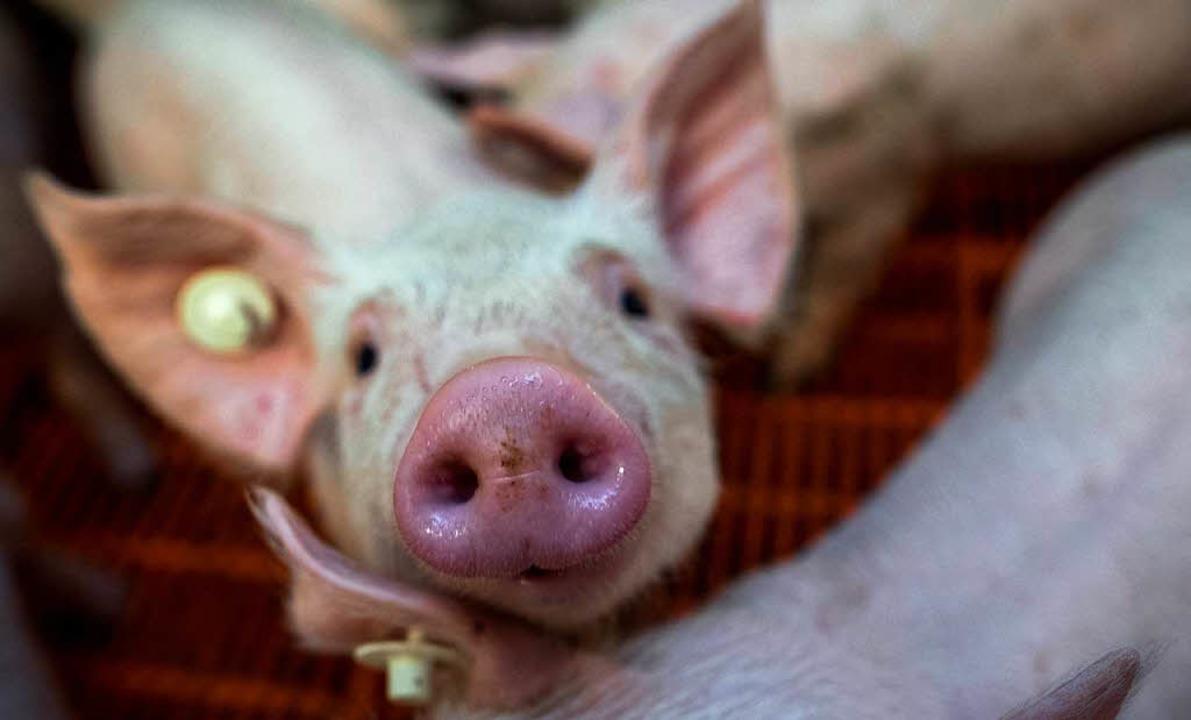 Das Tierwohl spielt bei den Kaufentsch...erbrauchern heute eine größere Rolle.     Foto: DPA