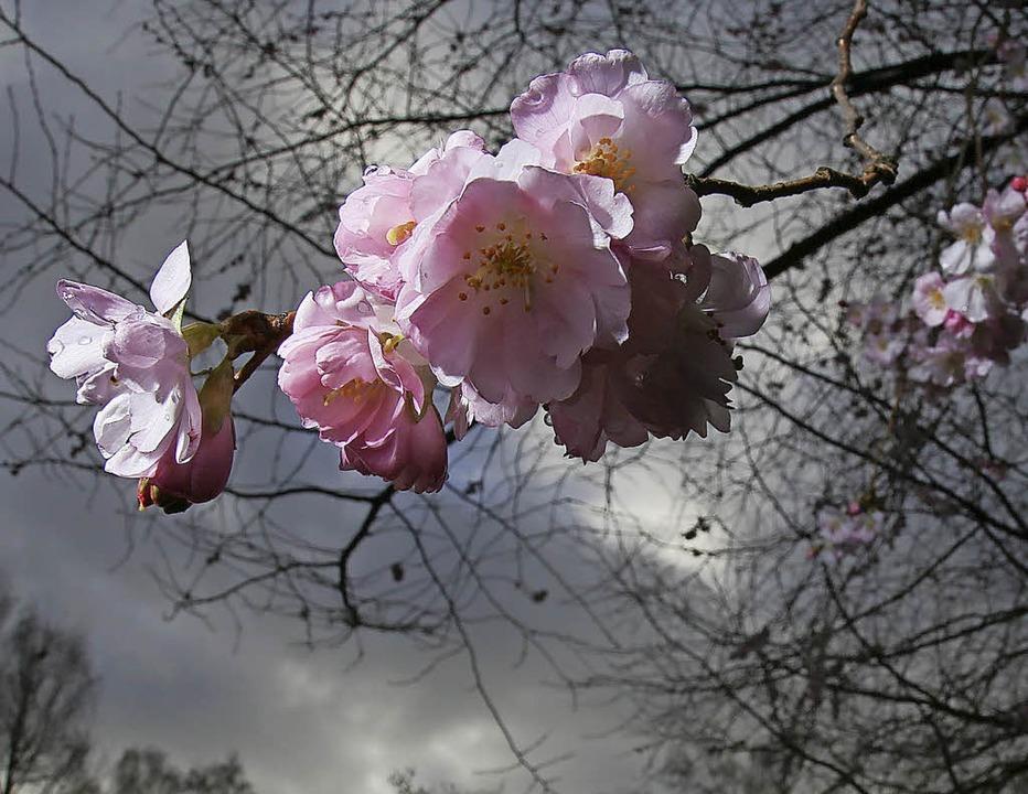 Kirschblüte mitten im Herbst – spielt die Natur verrückt?  | Foto: dpa