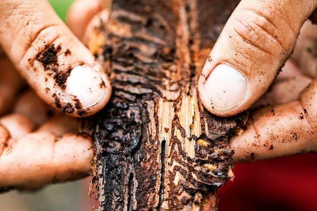 Die Trockenheit setzt den Bäumen im Land zu