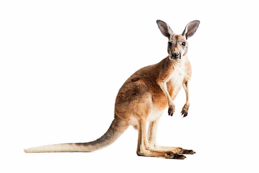 Kanguru Form Kostenlose Icon 7