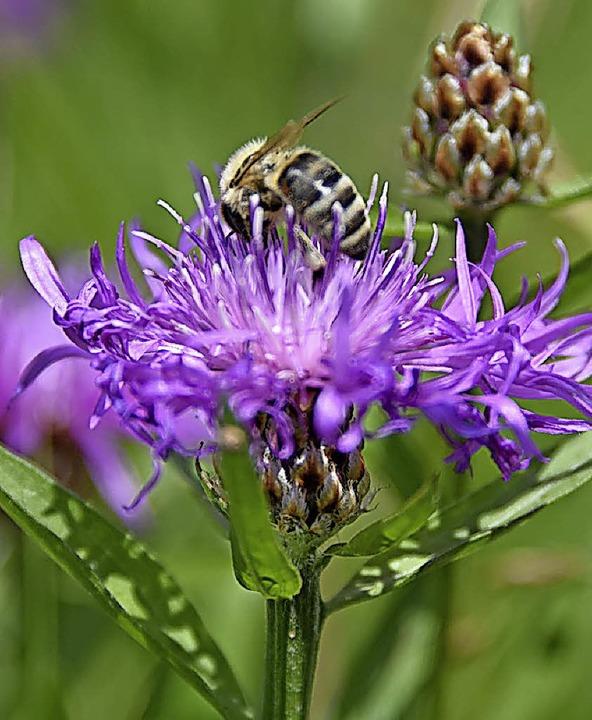 Aufblühen soll die Gemeinde Steinen &#...en und Insekten zu ihrem Recht kommen.  | Foto: Robert Bergmann
