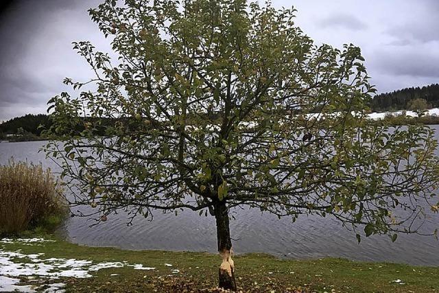 Osterbaum wird Biberfutter