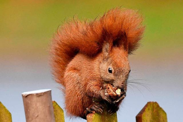 So findet das Eichhörnchen im Winter seine versteckten Nüsse wieder
