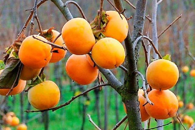 Unbekannte stehlen Kaki-Früchte