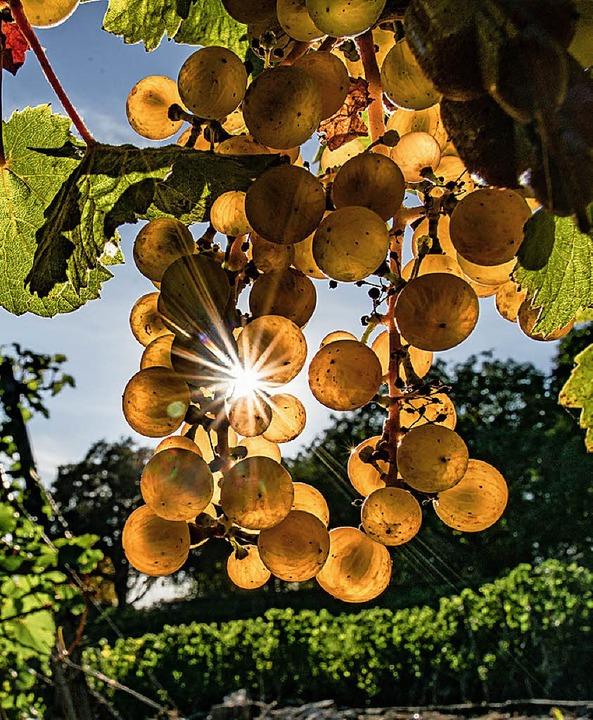 Aus goldenen Trauben wird guter Wein.  | Foto: dpa