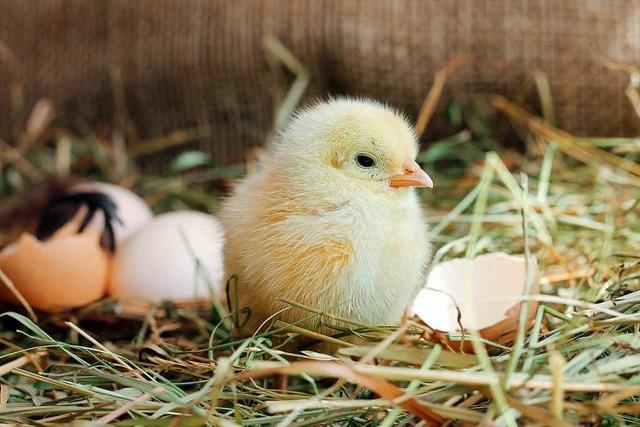 Neue Technik erkennt Kükengeschlecht noch im Ei